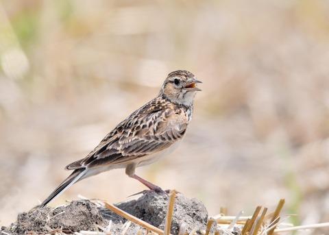 ヒバリ若鳥3750