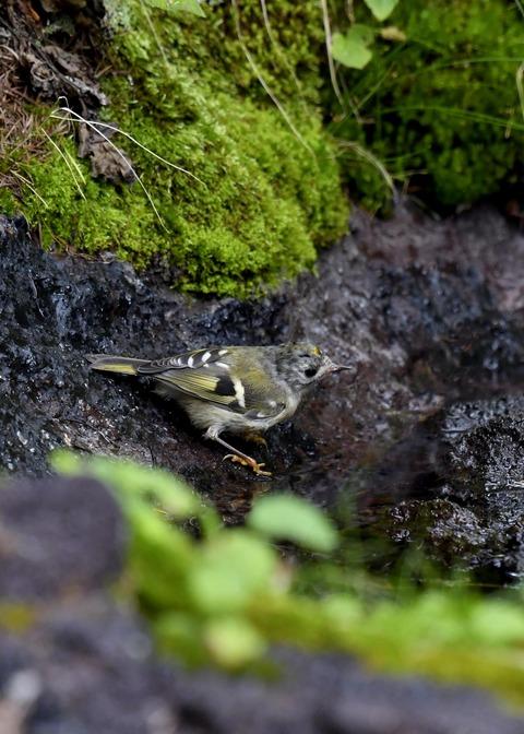キクイタダキ幼鳥2832