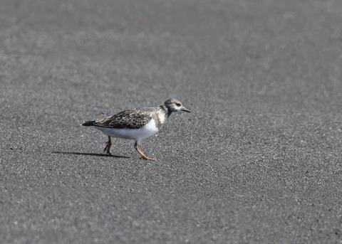 キョウジョシギ幼鳥5877