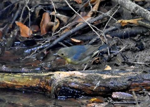 コルリ♂幼鳥2626