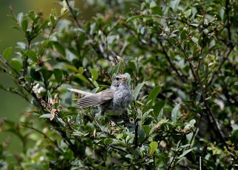ウグイス幼鳥2473