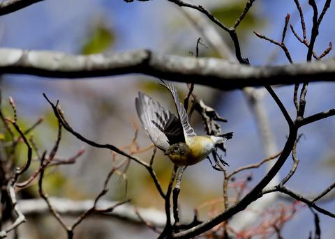 飛ぶ・ムギマキ♀5218