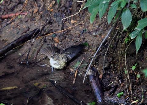 キビタキ幼鳥3839