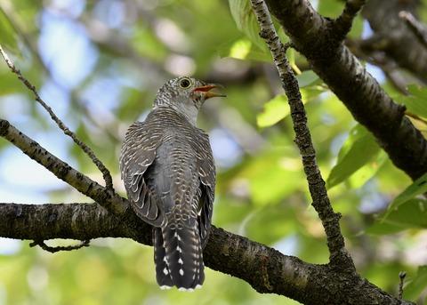 ツツドリ幼鳥6269