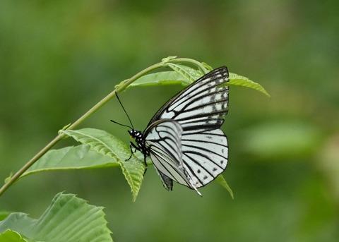 アカボシゴマダラ(春型)6153