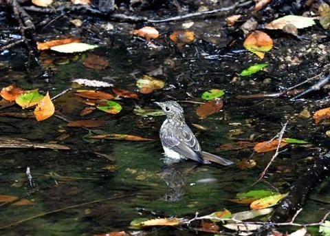 キビタキ幼鳥0799