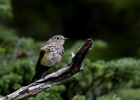 ルリビタキ幼鳥0625