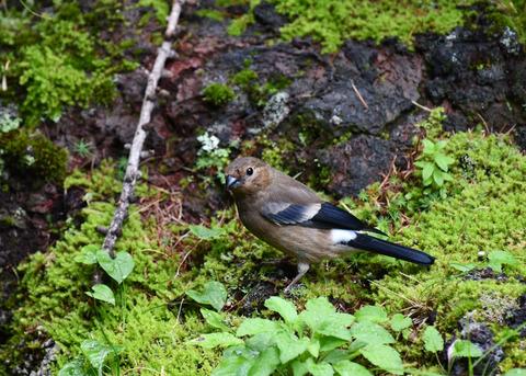 ウソ幼鳥4720