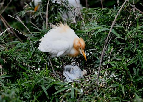 アマサギ(雛2・卵1)4696
