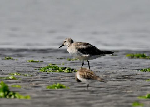 コオバシギ幼鳥4292