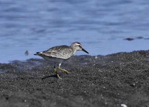 コオバシギ幼鳥0167