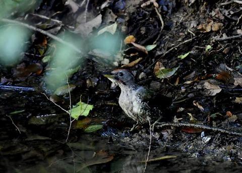 アオゲラ幼鳥♂8628