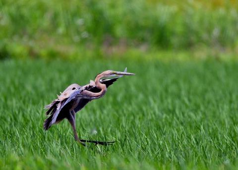 ムラサキサギ若鳥2145