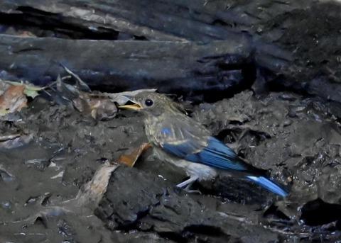 オオルリ幼鳥②6280