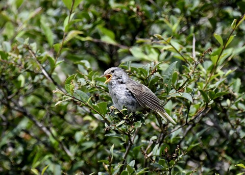 ウグイス幼鳥2607 - コピー