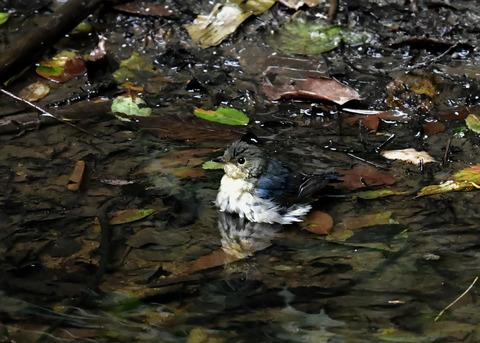 コルリ♂幼鳥4138