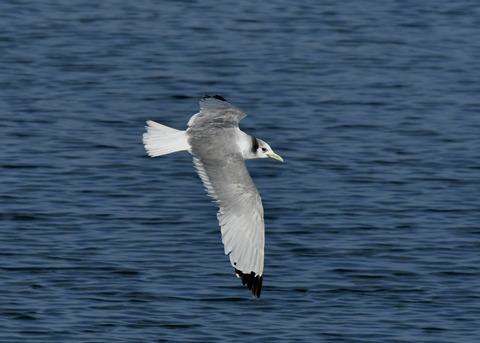 ミツユビカモメ成鳥5364