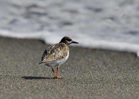 キョウジョシギ幼鳥5852