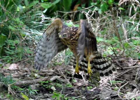 オオタカ幼鳥3543