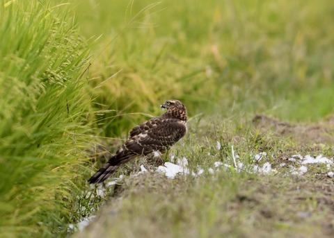 オオタカ若鳥3094