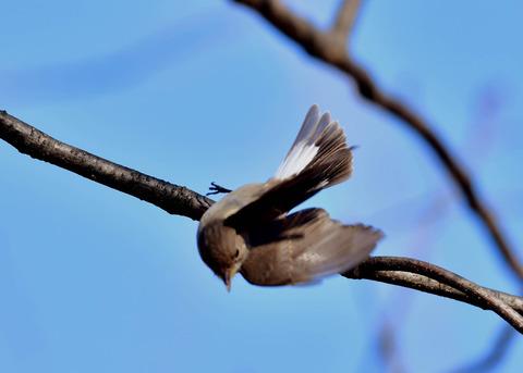 飛ぶ・ニシオジロビタキ♀3720