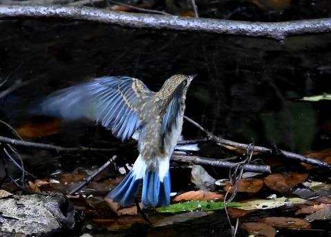 オオルリ幼鳥②6509