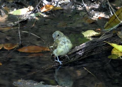 キビタキ幼鳥3464