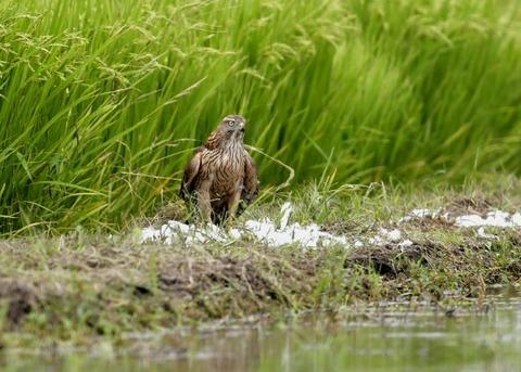 オオタカ若鳥3019