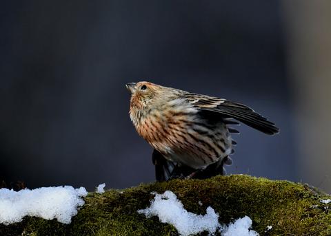 オオマシコ若鳥9568