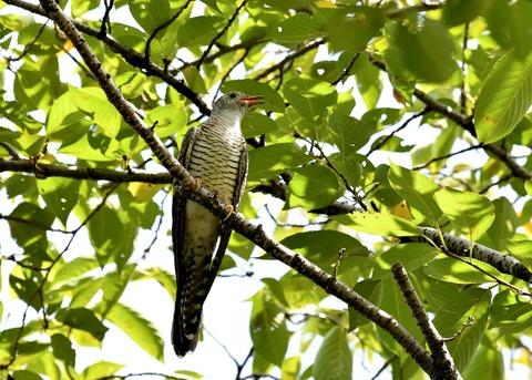 ツツドリ幼鳥6465