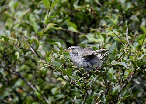 ウグイス幼鳥2593 - コピー