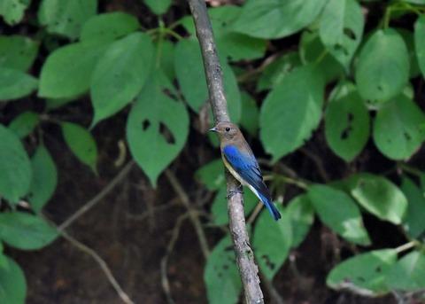 オオルリ♂幼鳥4103