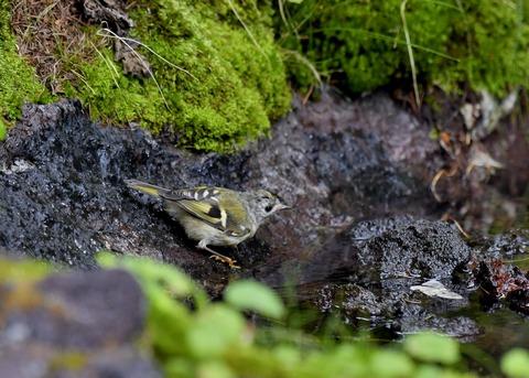 キクイタダキ幼鳥2830