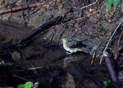 キビタキ幼鳥3848