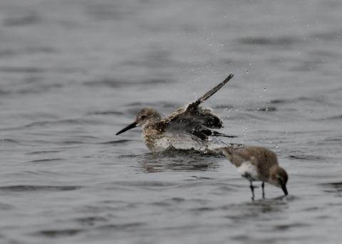 水浴び・オバシギ幼鳥4559