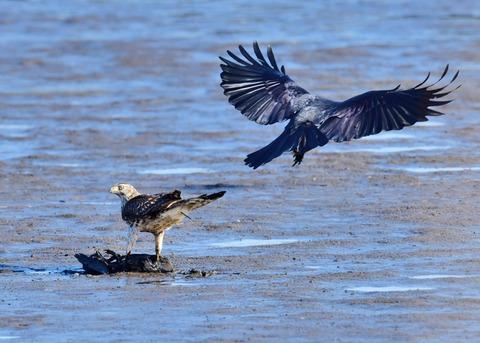オオタカ若鳥0612