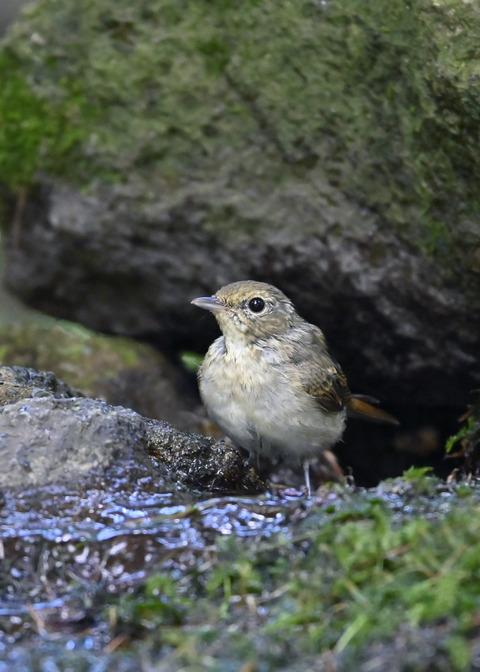 キビタキ♀幼鳥1073