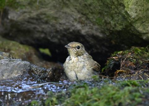 キビタキ♀幼鳥1046