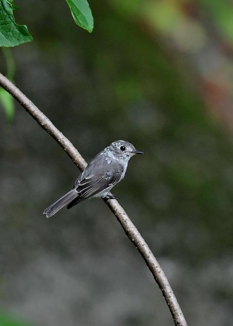 コサメビタキ幼鳥0256