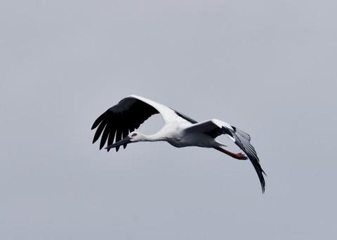 飛ぶ・コウノトリ3393