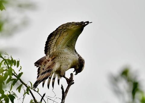 カンムリワシ若鳥6530