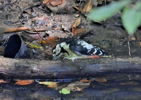 アカゲラ♂幼鳥3640