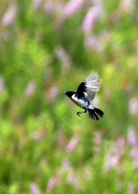 飛ぶ・ノビタキ♂1209