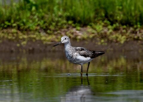 アオアシシギ幼鳥2773
