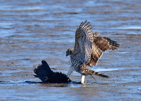 オオタカ若鳥0599