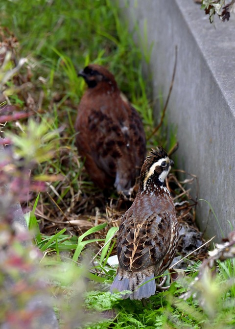 コリンウズラ♂&若鳥5535