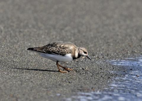 キョウジョシギ幼鳥5994