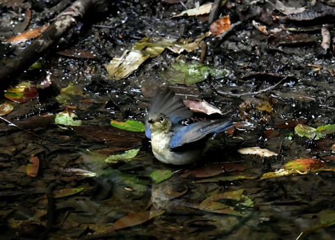 コルリ♂幼鳥4079