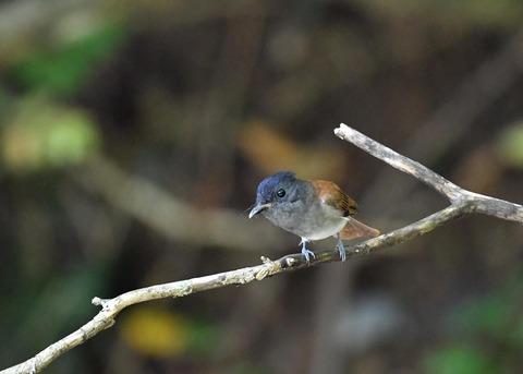 サンコウチョウ幼鳥5612