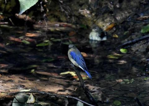 オオルリ幼鳥♂8166